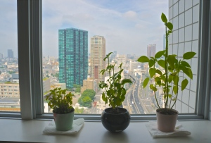Urban garden, lemon balm basil and chia plants in Tokyo